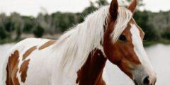 الحصان البينتو