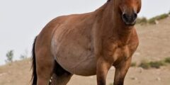 الحصان اليبزيانى
