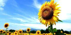 الطور السائد في النباتات البذرية هو الطور