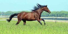 حصان الركوب الأوكرانى