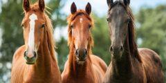 الحصان ذو الدم النقى