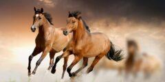 الحصان البالومينو