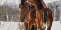 الحصان التيرسكى
