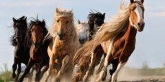 الحصان اللوزيتانى