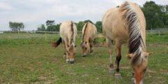 الحصان الكالدروبر