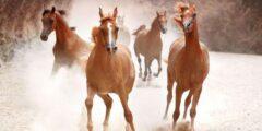 حصان الجر شليسفيج
