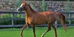 الحصان الكاراباخ