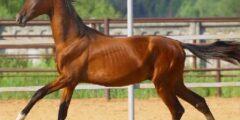 الحصان الأخالتيكى