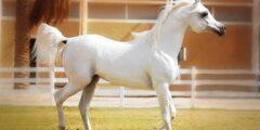 حصان السرج