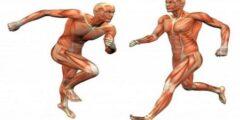 ما الذي تشكله العظام والعضلات معا عند ارتباطهما مع بعضهما البعض