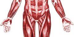 ما هي العضلات التي تحرك الغذاء من المريء الى الامعاء