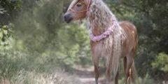 الحصان هافلينجر