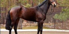 الحصان الجيلدلاندر
