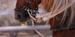 الحصان مانجالارجا