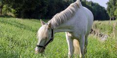 الحصان السويدى ذو الدم الساخن