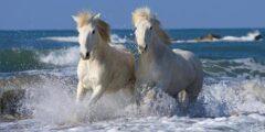 الحصان السيسى الأسترالى