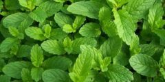 """عالم النباتات .."""" يان إينخنهاوسز """" .. مكتشف انتاج النبات للاكسجين"""