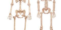 أطول عظمة في جسم الإنسان ما هي؟