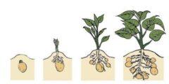 بحث حول مراحل نمو النبات
