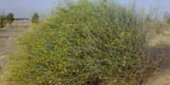 تعريف نبات العرفج