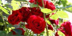 كيفية زراعة الورد الجوري منزلياً