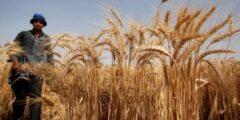 مراحل الحصاد