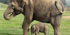 مدة حمل انثى الفيل ومواصفات صغير الفيل