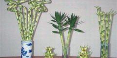 طريقة تكثير نبات البامبو