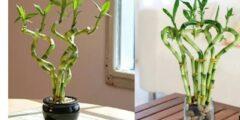 طريقة تكاثر نبات عصا موسى