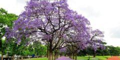 معلومات عن شجرة الجاكرندا